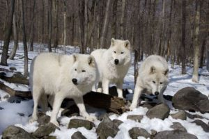 WolfPack3